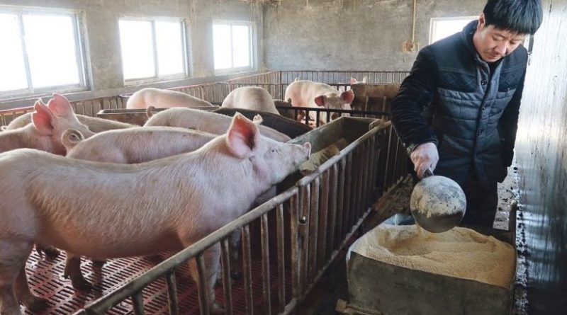 Laos Suspends Pig, Pork Imports From China, Vietnam