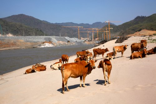 Outbreak of Hoof-and-Mouth Disease Kills Livestock in Laos